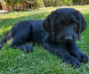 Labradoodle Puppy for sale in RENO, NV, USA