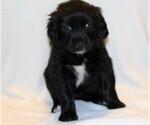 Puppy 6 Golden Newfie