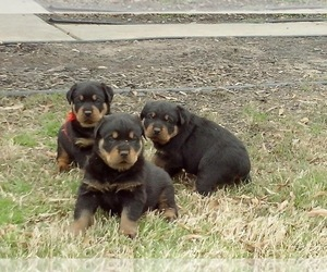 Rottweiler Puppy for Sale in CORDOVA, Tennessee USA