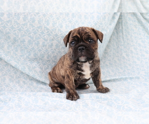 French Bulldog Puppy for sale in SHILOH, OH, USA