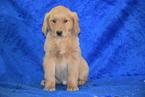 AKC Registered Golden Retriever Male Tex