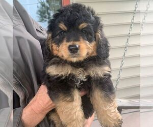 Bernedoodle-Poodle (Miniature) Mix Puppy for sale in LANCASTER, PA, USA