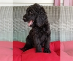 Goldendoodle Puppy For Sale in GAFFNEY, SC, USA