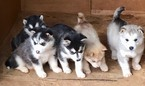 Alaskan Malamute Puppy For Sale in MOORE, SC, USA