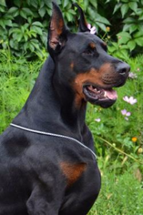 Doberman Pinscher Puppy For Sale in PORTLAND, OR, USA
