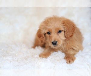 Goldendoodle-Poodle (Miniature) Mix Puppy for sale in NORTH VERNON, IN, USA