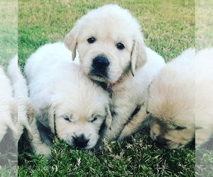 Golden Retriever Puppy for Sale in MURRIETA, California USA
