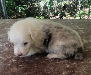 Australian Shepherd Puppy for sale in ROCK SPRING, GA, USA