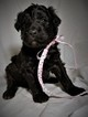Aussiedoodle Puppy For Sale in MONTROSE, CO,