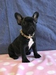 Tina The Cutest AKC French Bulldog