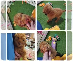Poodle (Standard) Puppy for sale in KENDALL, WI, USA