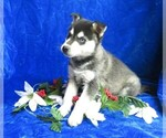 Small #8 Alaskan Klee Kai
