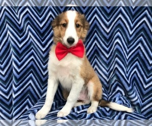 Shetland Sheepdog Puppy for sale in KIRKWOOD, PA, USA