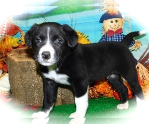 Border Collie-Rat Terrier Mix Puppy for Sale in HAMMOND, Indiana USA