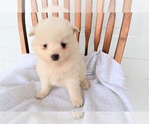 Pomsky Puppy for sale in JACKSON, MI, USA