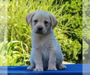 Labrador Retriever Dog for Adoption in GORDONVILLE, Pennsylvania USA