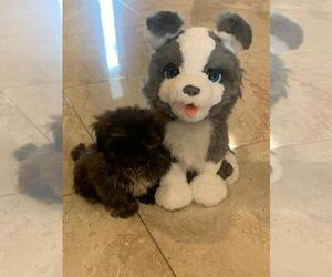 Shih Tzu Puppy for Sale in HOMESTEAD, Florida USA