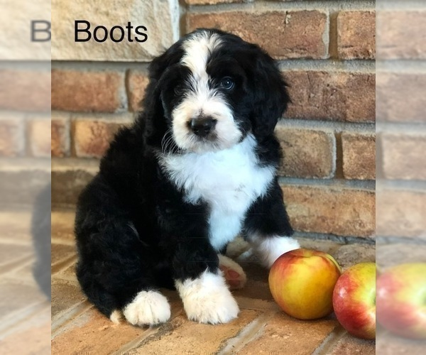 Puppyfindercom View Ad Photo 17 Of Listing Bernedoodle
