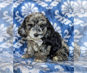 Cocker Spaniel-Poodle (Miniature) Mix Puppy for sale in NOTTINGHAM, PA, USA
