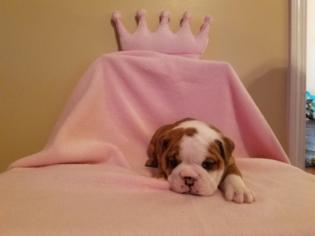 English Bulldogge Puppy For Sale in BYRON, GA, USA