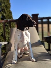 German Shorthaired Pointer Puppy For Sale in LEBANON, TN, USA