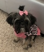 Shih Tzu Puppy For Sale in RICHMOND, TX, USA