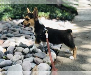 Aussie-Corgi-Pembroke Welsh Corgi Mix Puppy for sale in DALLAS, TX, USA