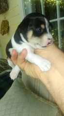 Rat Terrier Puppy For Sale in FRYEBURG, ME, USA