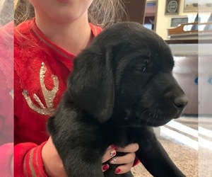 Labrador Retriever Puppy for sale in FORT WORTH, TX, USA