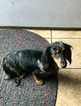 Dachshund Puppy For Sale in WAVERLY, OH, USA