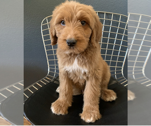 Goldendoodle Puppy for sale in FORT WORTH, TX, USA