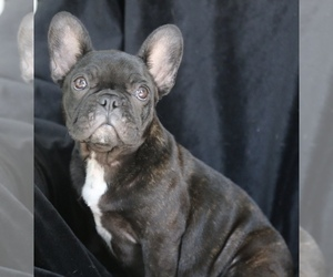 French Bulldog Puppy for Sale in PHOENIX, Arizona USA