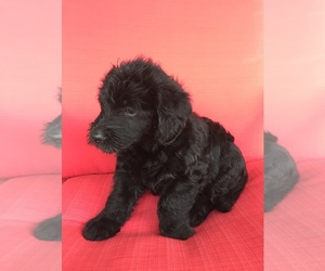 Labradoodle Puppy for sale in BANDERA, TX, USA