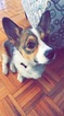 Pembroke Welsh Corgi Puppy For Sale in BOSTON, MA, USA