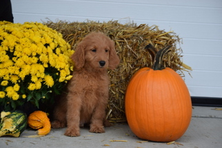 Goldendoodle Puppy For Sale in FREDERICKSBURG, OH, USA