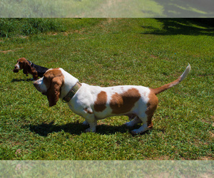 Basset Hound Puppy for Sale in PETERSBURG, Indiana USA