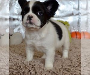 French Bulldog Puppy for Sale in KIRKLAND, Washington USA