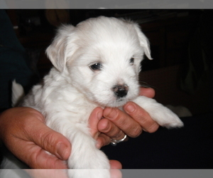 Coton de Tulear Puppy for Sale in COLUMBIA, Missouri USA
