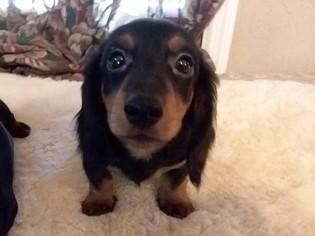 Puppyfinder com: Dachshund puppies puppies for sale near me in