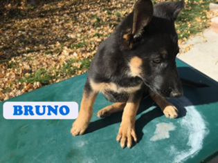 German Shepherd Dog Puppy For Sale in CLARKSTON, UT, USA