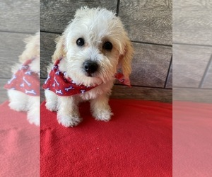 Poodle (Toy)-Schnoodle (Miniature) Mix Puppy for Sale in RICHMOND, Illinois USA