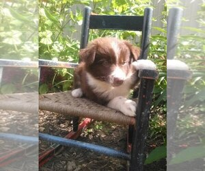 Australian Shepherd Puppy for sale in LINDEN, TN, USA