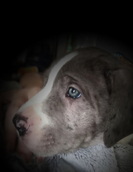 View Ad Saint Dane Litter Of Puppies