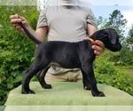 Puppy 9 Presa Canario