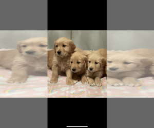 Golden Retriever Puppy for sale in SOAP LAKE, WA, USA
