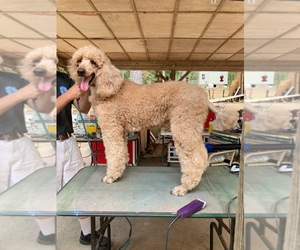 Poodle (Standard) Puppy for sale in COLUMBIANA, AL, USA