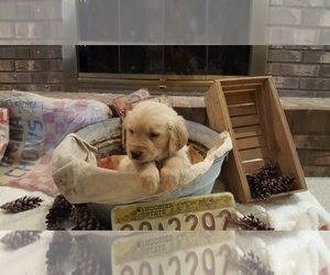 Golden Retriever Puppy for Sale in BLUFFTON, Indiana USA