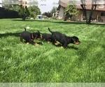 Small #28 Rottweiler