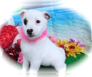 American Eskimo Dog-Rat Terrier Mix Puppy for sale in HAMMOND, IN, USA