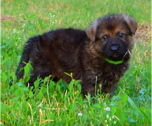 German Shepherd Dog Puppy for sale in DAYTON, TX, USA